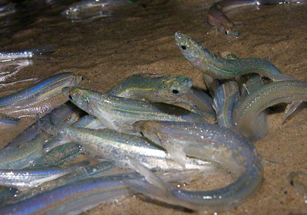Grunion spawning