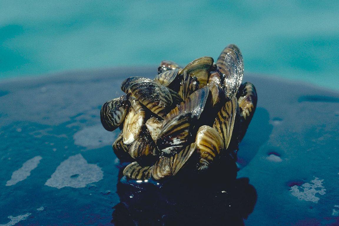 Zebra mussels cluster