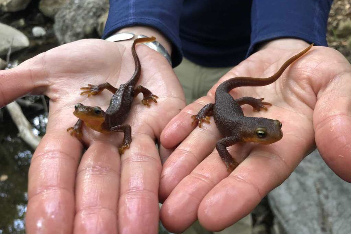 Emaciated and healthy newts