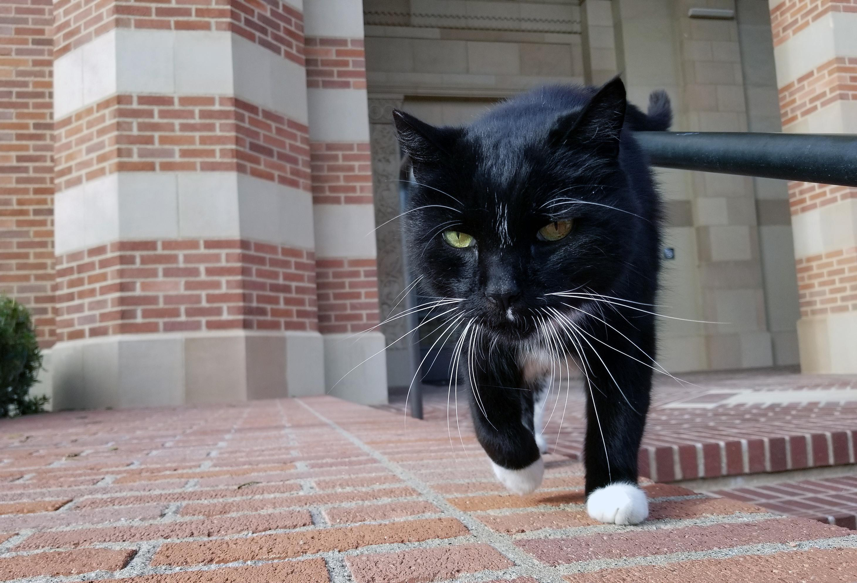Powell Cat