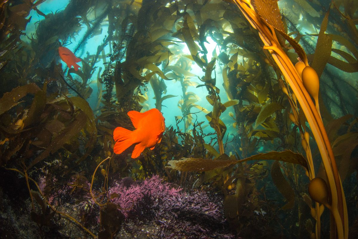 A photo of a garibaldi swims through the kelp forests of California's marine protected areas near Santa Cruz Island.