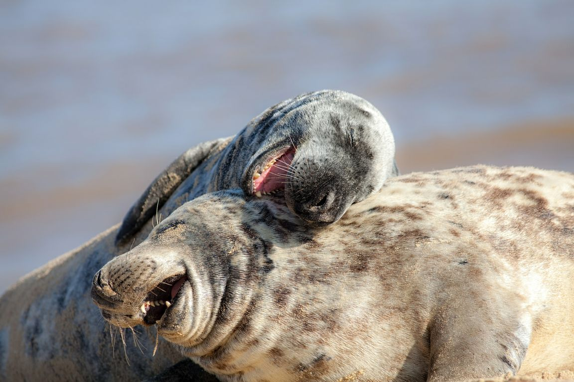 Two sea lions playing