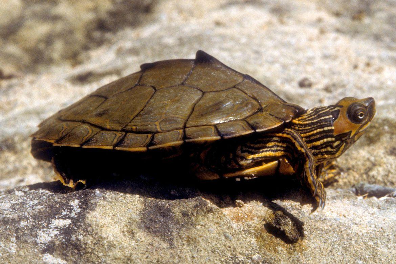 Alabama map turtle