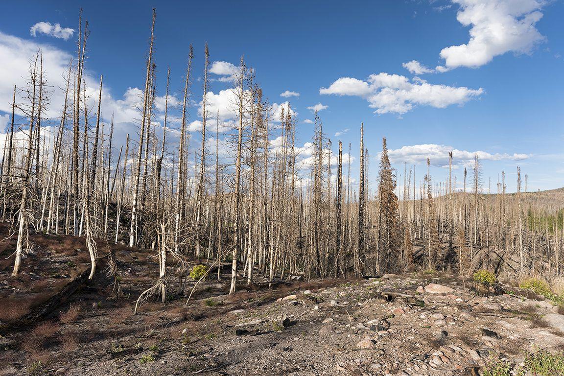 árvores queimadas após incêndio florestal na Califórnia