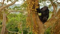 Researchers Study Chimpanzee Community Isotopes to Learn About Ancient Food Sources