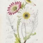Arctotis aspera Linn. var. arborescens D.C.