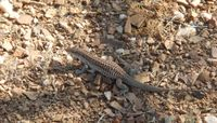 Chihuahuan Spotted Whiptail