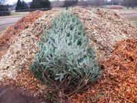 Office of Sustainability offers tips to recycle Christmas trees, lights