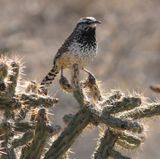 Extreme temperatures threaten desert songbirds with death by dehydration
