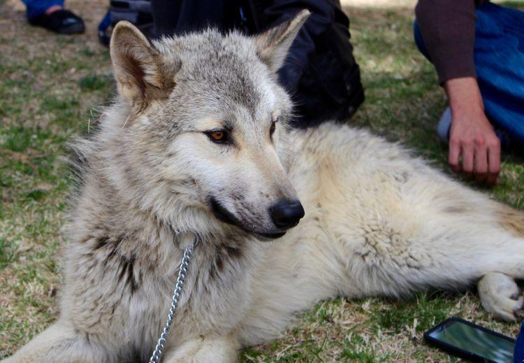 Wolf Fest