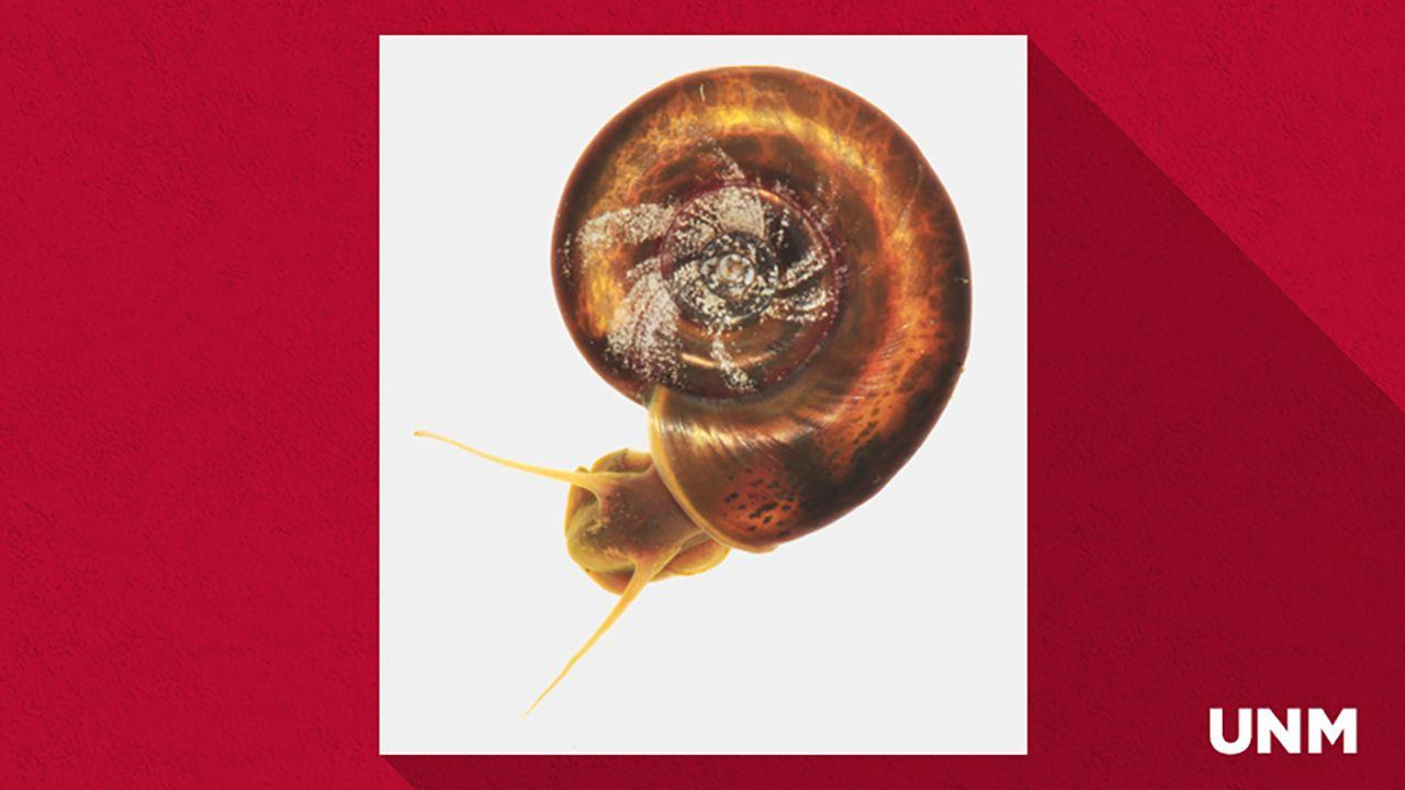 Ram's Horn snail