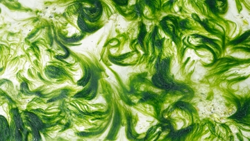 Arsenic and algae: finding sustainable water purification systems