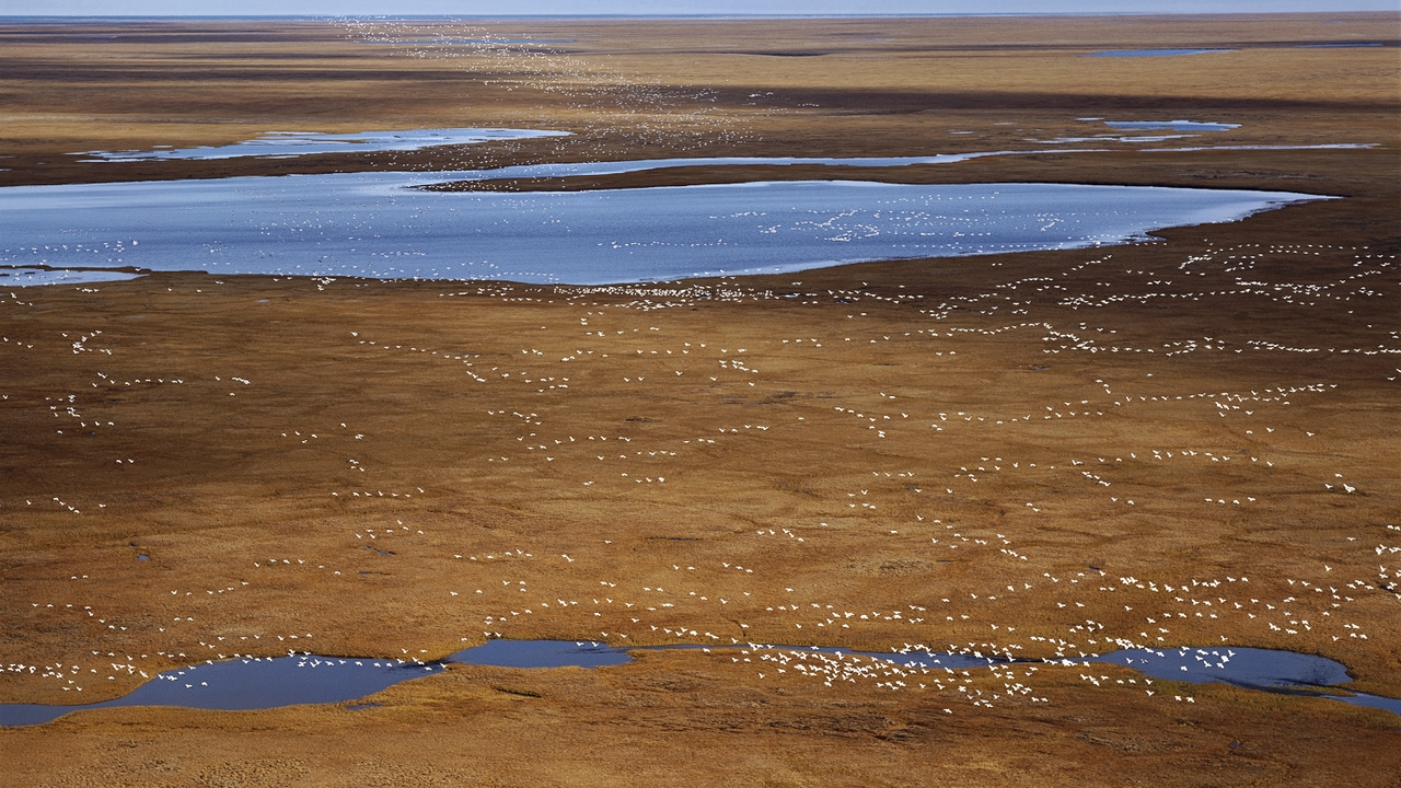 Snow Geese, Arctic National Wildlife Refuge