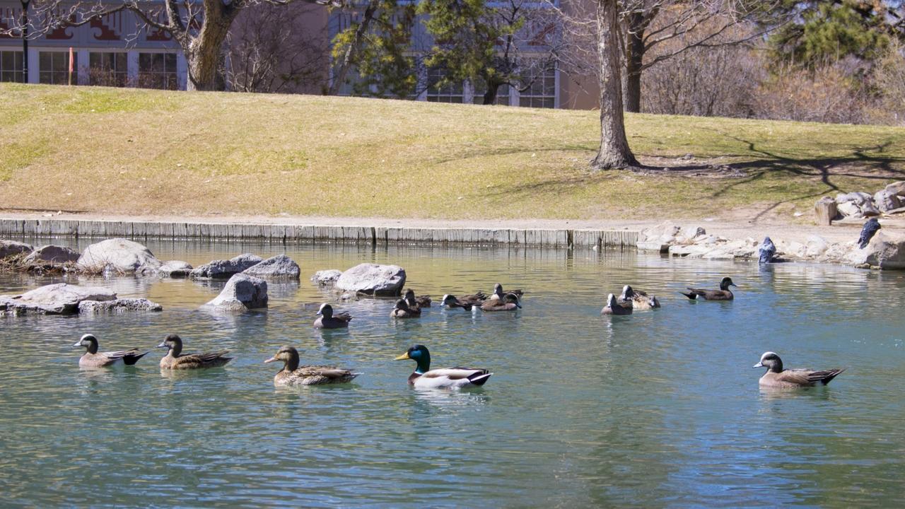 UNM's ducks