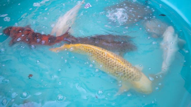 Large koi fish in holding tank
