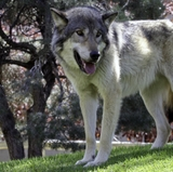 Annual 'Wolf Fest' happening this week