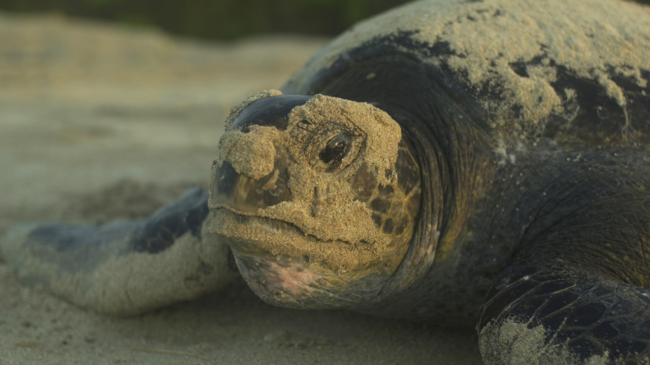 Cracking the case: The taste for turtle and the disappearing delicacy