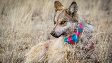 Museum to host lecture on Ernest Thompson: The Transformation of a Wolf Killer into a Wolf Protector