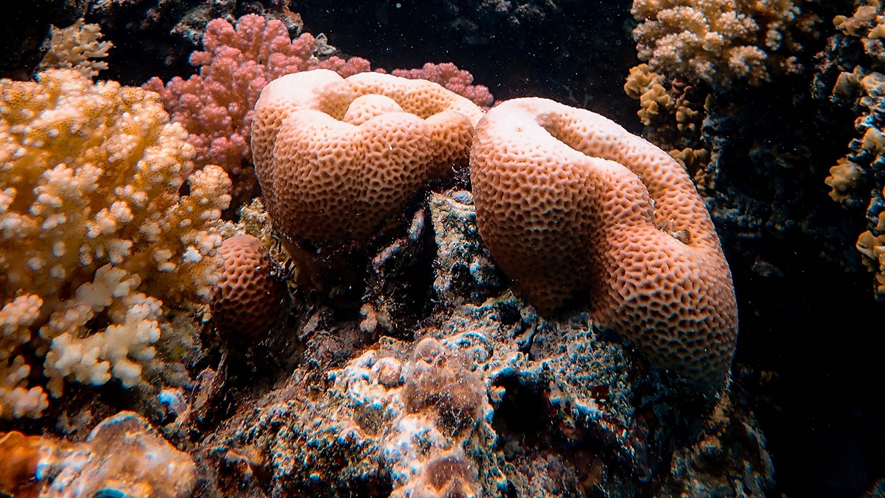 Coral becomes bleached