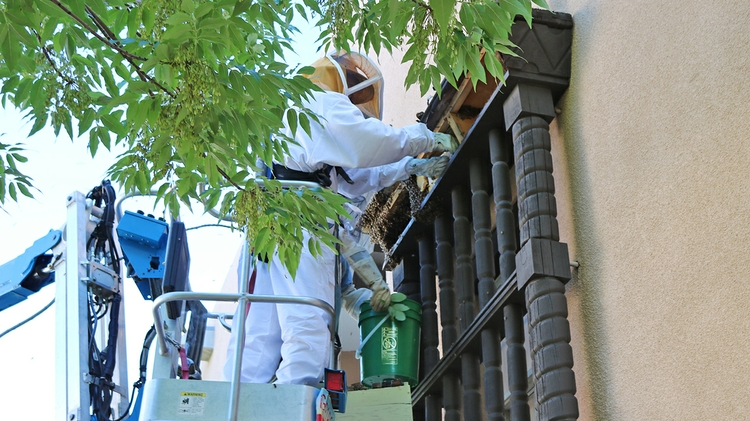 Facilities Management removes beehive from Maxwell Museum