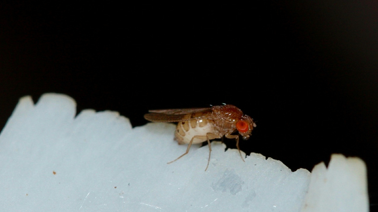 Drosophila research