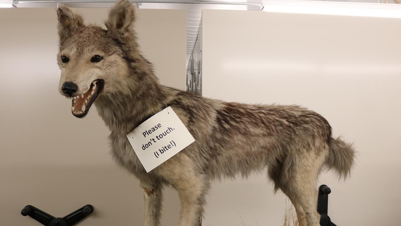 Canis Lupus - Lobo