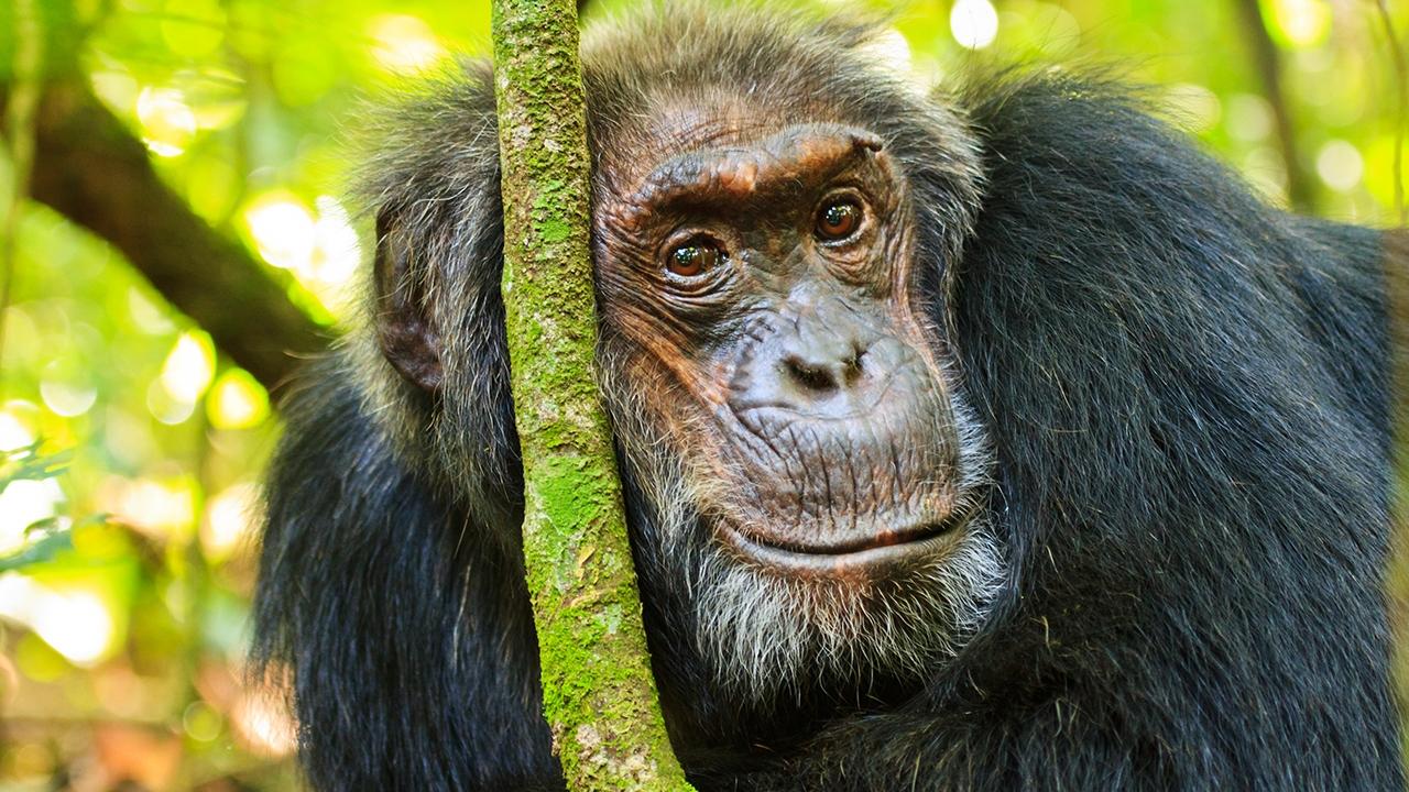 Chimpanzee research