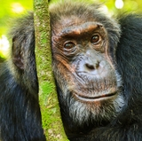 Research finds similarities between the way humans, chimpanzees age