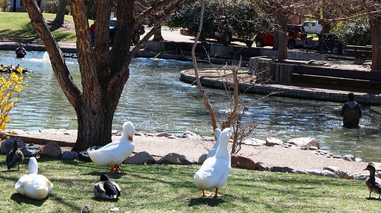 Ducks wait patiently