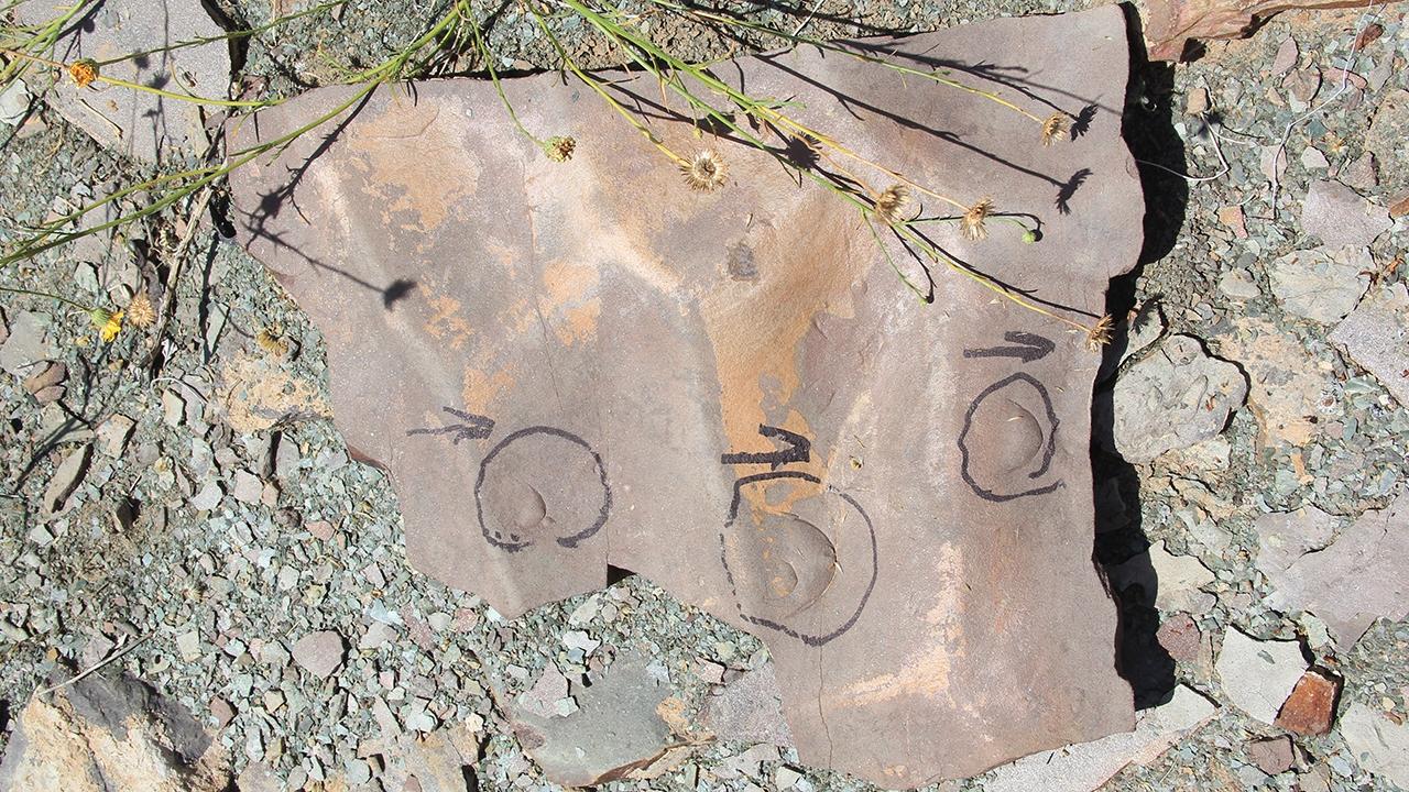 Olenellid trilobites in