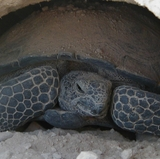 UNM, LANL to study radioactive elements in tortoises