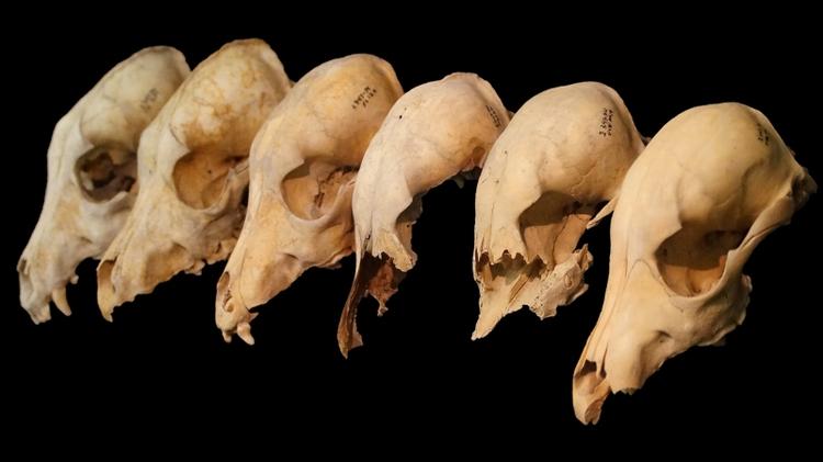Allmancos dog skulls