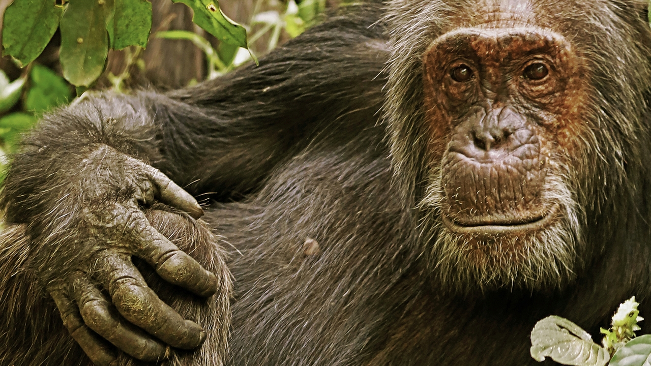 Chimps, humans and aging