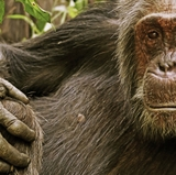 Chimpanzee research may shed new light on human aging