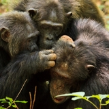 Research shows aging chimps, like humans, value friendships