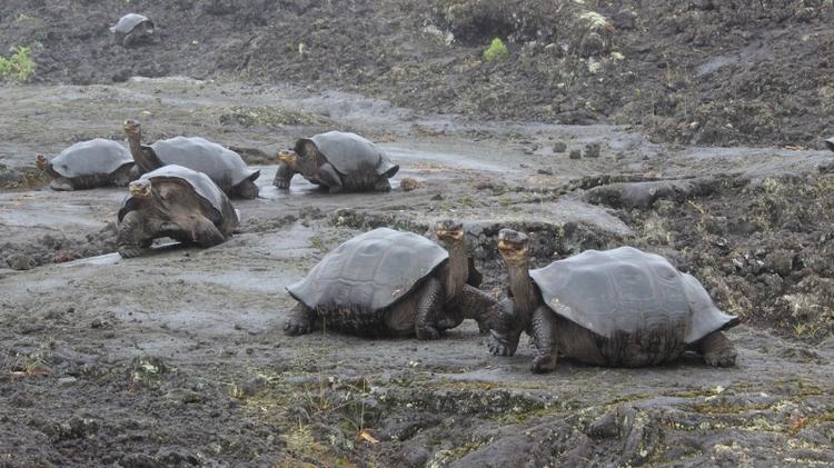 Tortoises on Wolf Volcano