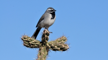 New research shows climate change could lead to Mojave bird extinction