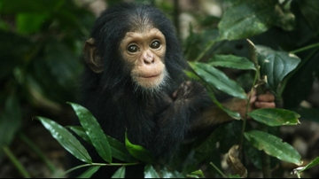 Early experiences shape aggression in young chimpanzees