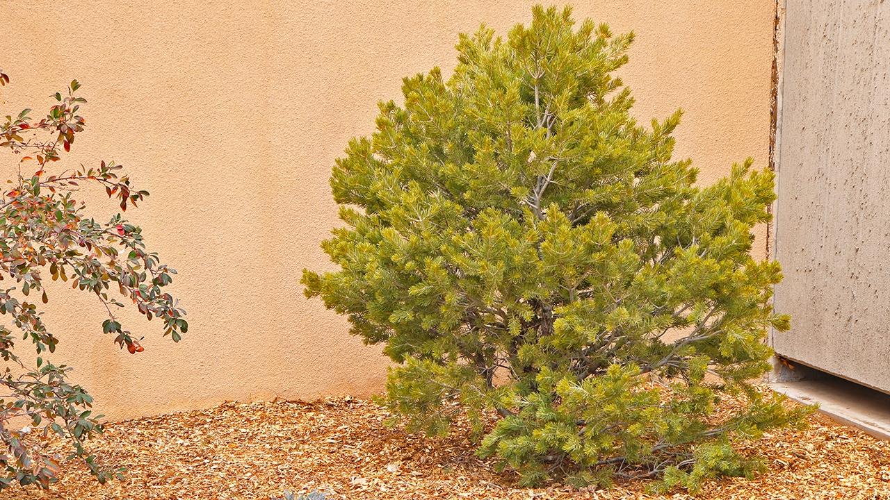 This Piñon Pine tree