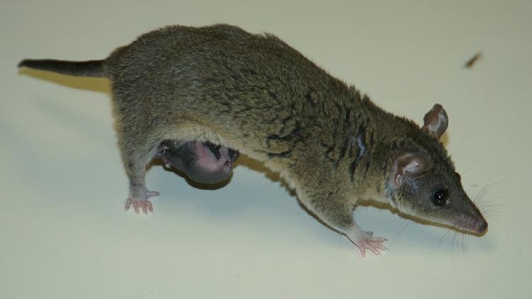 Gray short-tailed opossum