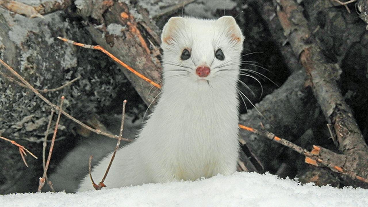 Genetic diversity of weasels