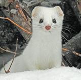 Jocelyn Colella receives 2021 Popejoy Dissertation Prize for research on weasels