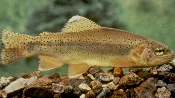 UNM biologists use genomic sequencing to inform preservation efforts for Gila trout