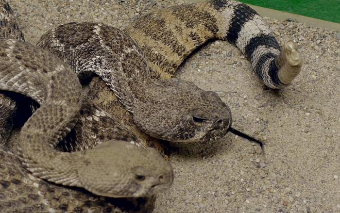 Warmer weather signals start of snake season | UNM Health Sciences