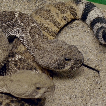 Warmer weather signals start of snake season