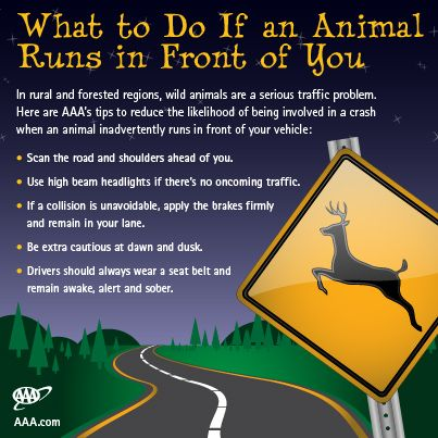 What-to-Do-If-an-Animal-Runs-in-Front-of-You