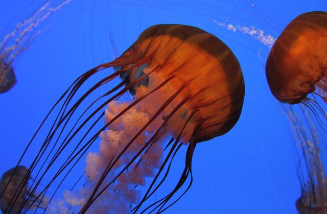 Sea Nettle