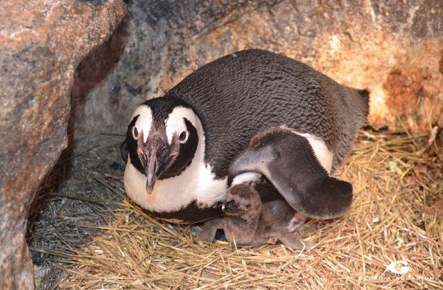 Penguin Chick in Nest