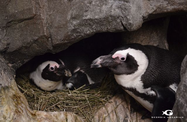 Penguins in Nest