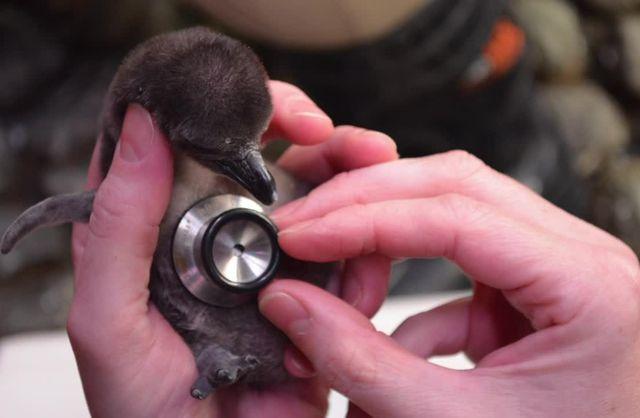 Penguin Chick B-roll 2015
